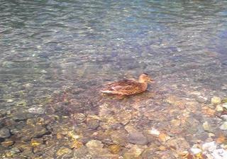 2013.9.27梓川の鴨.JPG
